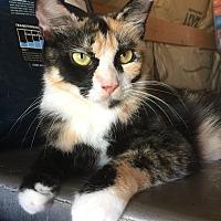 Adopt A Pet :: Calllie - Loxahatchee, FL
