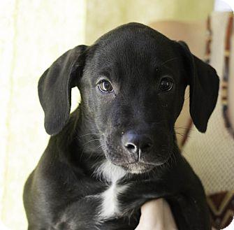Labrador Retriever Mix Puppy for adoption in Phoenix, Arizona - Darwin