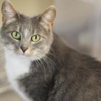 Domestic Shorthair/Domestic Shorthair Mix Cat for adoption in Quincy, Illinois - Millie (Nina)