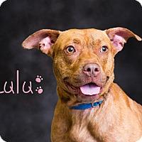 Adopt A Pet :: LuLu - Somerset, PA