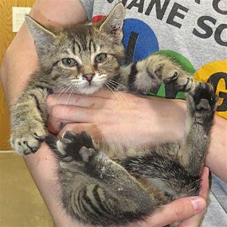 Domestic Longhair Kitten for adoption in Indiana, Pennsylvania - Allie