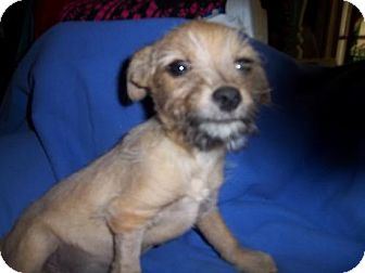 Chihuahua/Standard Schnauzer Mix Dog for adoption in Anderson, South Carolina - Shaggy