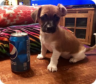Chihuahua/Terrier (Unknown Type, Small) Mix Puppy for adoption in ST LOUIS, Missouri - Babygirl Mimi