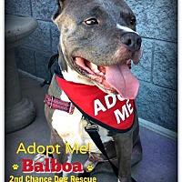 Adopt A Pet :: Balboa - Queen Creek, AZ