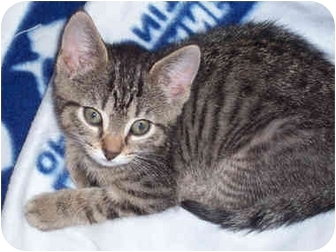 Domestic Shorthair Kitten for adoption in Honesdale, Pennsylvania - Daisy