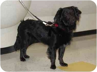 Dachshund Mix Puppy for adoption in Raritan, New Jersey - Maui