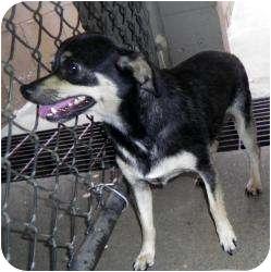Chihuahua Mix Dog for adoption in Gaffney, South Carolina - Hector