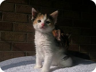 Calico Kitten for adoption in Trevose, Pennsylvania - Cali