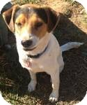 Beagle Mix Dog for adoption in Manchester, Connecticut - Spot in Ct