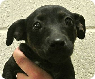 Rottweiler/Shepherd (Unknown Type) Mix Puppy for adoption in white settlment, Texas - Violet