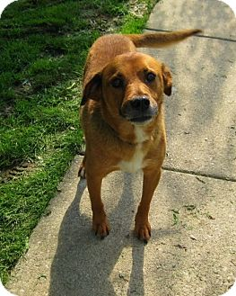 Labrador Retriever/Hound (Unknown Type) Mix Dog for adoption in Acushnet, Massachusetts - Mobie