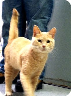 Domestic Shorthair Cat for adoption in Fort Riley, Kansas - Sky