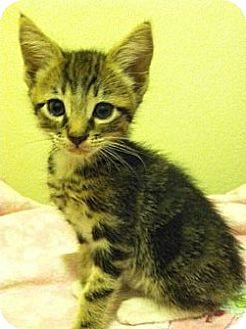 Domestic Shorthair Kitten for adoption in Santa Monica, California - BOOTS