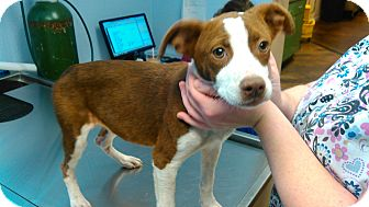 American Bulldog Mix Puppy for adoption in Burlington, New Jersey - Cocopuff