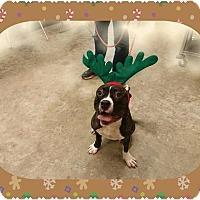 Adopt A Pet :: Lu Lu - Houston, TX