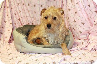 Cairn Terrier/Schnauzer (Miniature) Mix Dog for adoption in Yelm, Washington - Trevor