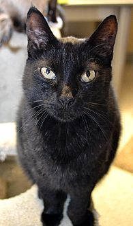 Domestic Shorthair Cat for adoption in Independence, Missouri - Max