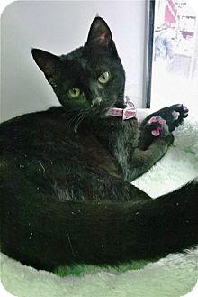 Domestic Shorthair Cat for adoption in Woodside, New York - Magic