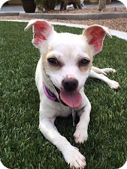 Chihuahua Mix Dog for adoption in Las Vegas, Nevada - Carmen