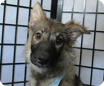 Collie Mix Puppy for adoption in Lloydminster, Alberta - Clyde
