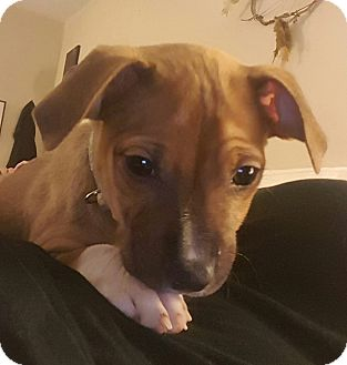 Boxer Mix Puppy for adoption in Lima, Pennsylvania - Dory