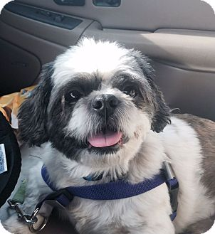 Shih Tzu Mix Dog for adoption in Knoxville, Tennessee - Guy