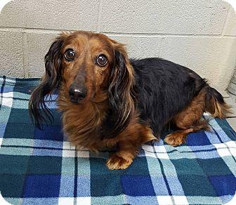 Dachshund Dog for adoption in Bryan, Ohio - Copper