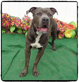 Pit Bull Terrier/American Bulldog Mix Dog for adoption in Marietta, Georgia - RADAR