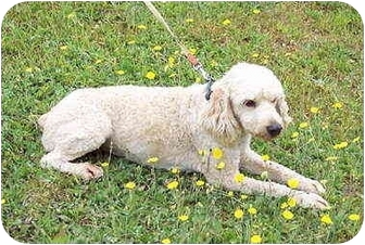 Cockapoo Mix Dog for adoption in Bloomsburg, Pennsylvania - Oliver
