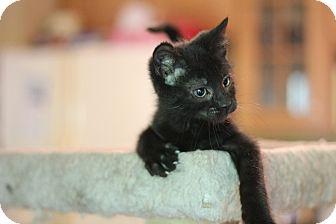 Domestic Shorthair Kitten for adoption in Richmond, Virginia - Angus