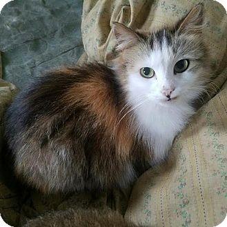 Domestic Longhair Cat for adoption in Ortonville, Michigan - Cameo
