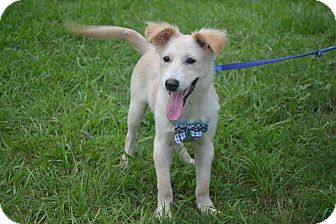Terrier (Unknown Type, Medium)/Canaan Dog Mix Puppy for adoption in San Francisco, California - Oscar