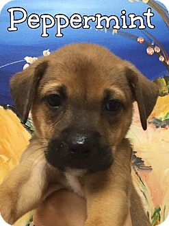 Shepherd (Unknown Type) Mix Puppy for adoption in Ft. Lauderdale, Florida - Peppermint
