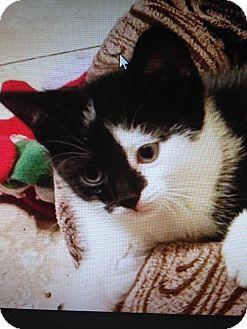 Domestic Shorthair Kitten for adoption in East Brunswick, New Jersey - Harley Quinn
