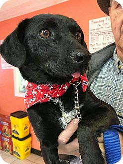 Labrador Retriever Mix Dog for adoption in East Hartford, Connecticut - Baby in CT
