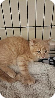 Domestic Shorthair Kitten for adoption in Houston, Texas - COTY