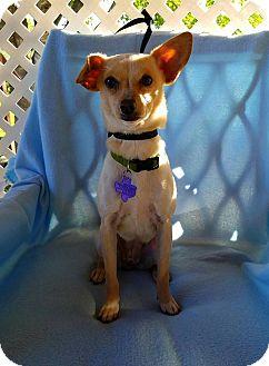 Chihuahua Mix Dog for adoption in San Antonio, Texas - Jello
