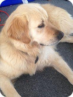 Golden Retriever Mix Dog for adoption in Washington, D.C. - Troy