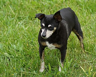 Miniature Pinscher Mix Dog for adoption in Port Clinton, Ohio - Olivia