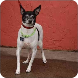 Rat Terrier Dog for adoption in Denver, Colorado - Dorothy
