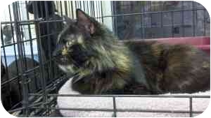 Domestic Mediumhair Cat for adoption in Warren, Michigan - Space Cat