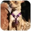 Photo 3 - Chihuahua Dog for adoption in Encino, California - HULA the Tiny Chi