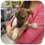 Photo 3 - Jack Russell Terrier Puppy for adoption in Lonedell, Missouri - Brenda