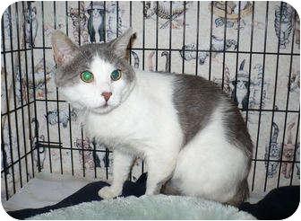 Domestic Shorthair Cat for adoption in Colmar, Pennsylvania - Travis
