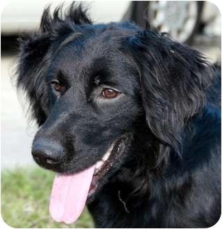 Flat Coated Retriever Cross LEO | Adopted Dog | La...