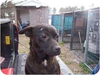 Labrador Retriever Mix Dog for adoption in Henderson, North Carolina - Fatty