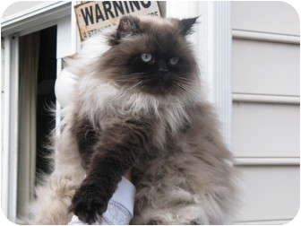 Himalayan Cat for adoption in Charlotte, North Carolina - Emmett