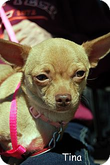 Chihuahua Mix Dog for adoption in Floyd, Virginia - Tina