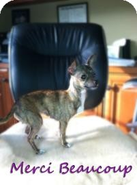 Chihuahua Dog for adoption in Sarasota, Florida - Merci Beaucoup