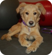 Golden Retriever Mix Dog for adoption in Scottsdale, Arizona - Josh